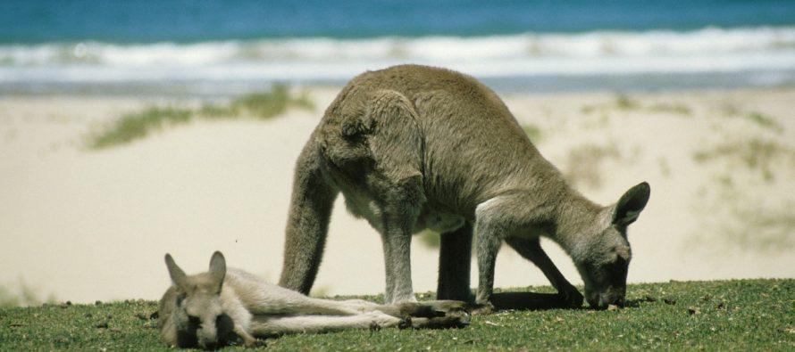 Kenguri pored puta: Vožnja biciklom kroz park pun kengura