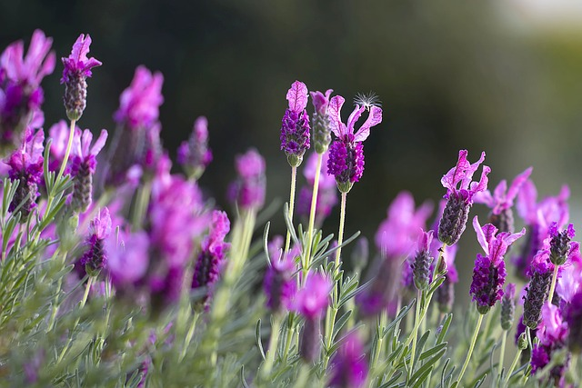 lavendar-1153408_640