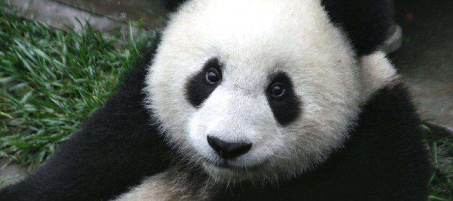 Poreklo panda – Evropa ili Azija