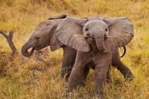 Otkrivena nova vrsta slona