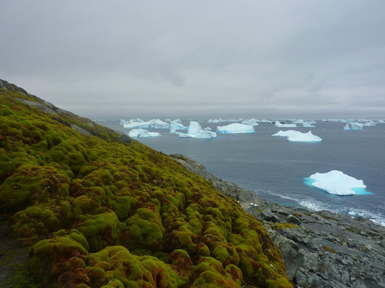 mahovina na antarktiku