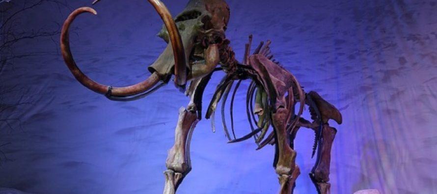 Zašto je većina fosila mamuta muškog pola?