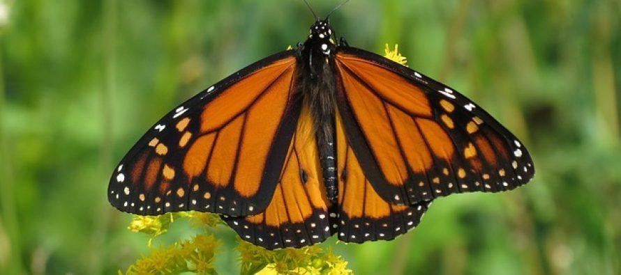 Žena uradila transplantaciju krila leptira, sa neverovatnim rezultatima