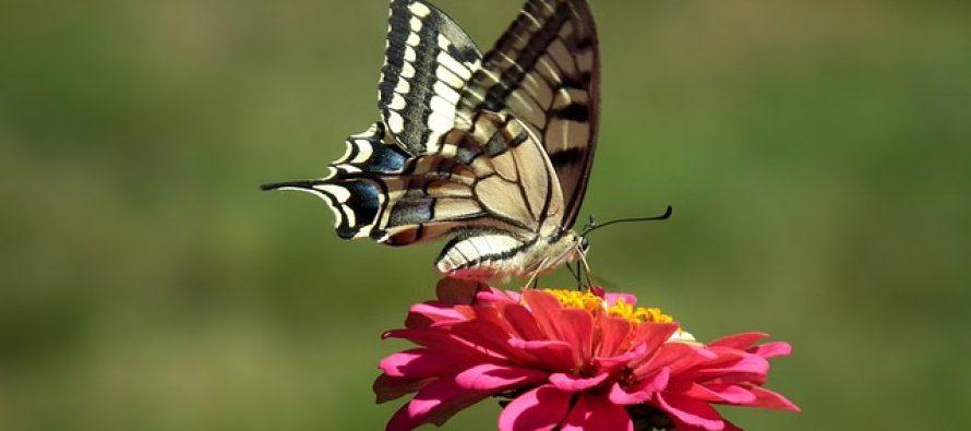 Novo otkriće zbunilo naučnike: Leptir ili cvet- ko je prvi nastao?