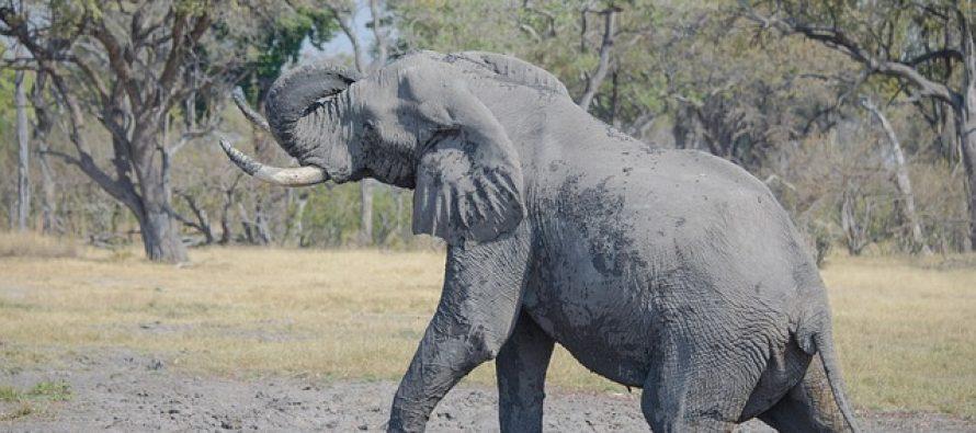 Kraj 2017. najviše proslavili slonovi: Kina zabranila prodaju slonovače