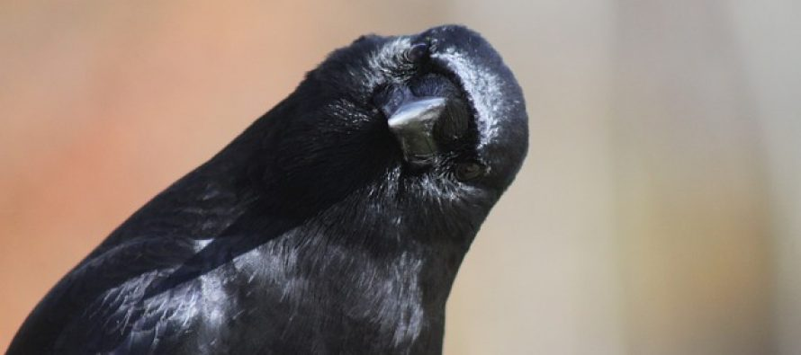 Svet životinja: Vrane još jednom iznenadile naučnike