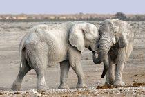 Slonovi mogu da razviju kompleksne osobine ličnosti
