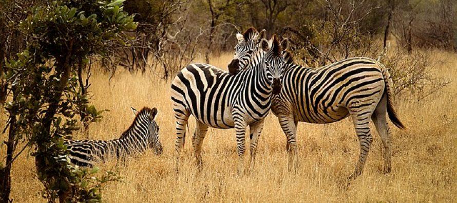 Otkrivena retka riđa zebra u divljini!