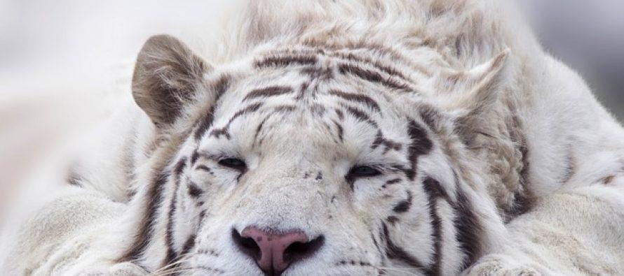 Mračna tajna belih tigrova