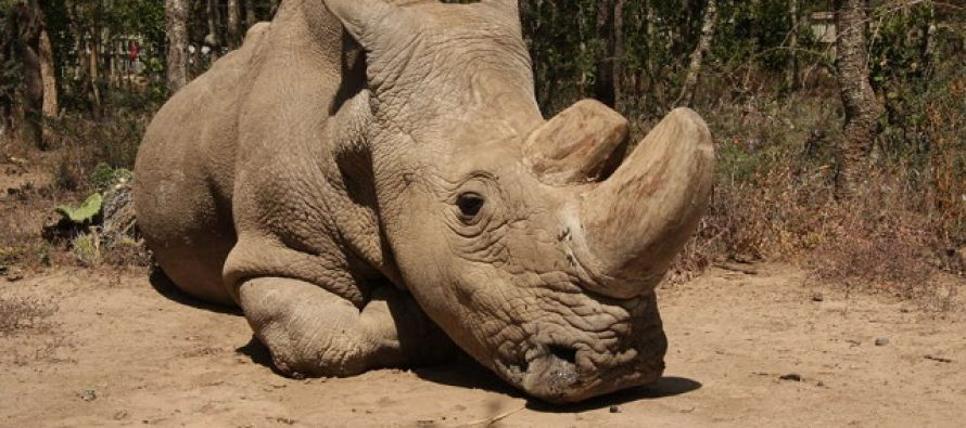 "Uspešan test ""embriona iz epruvete"": Spas za severnog belog nosoroga?"