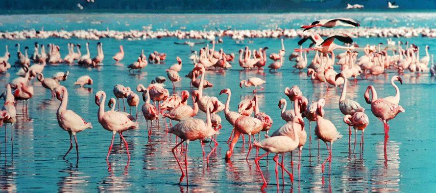Jezero Nakuru – ružičasti raj