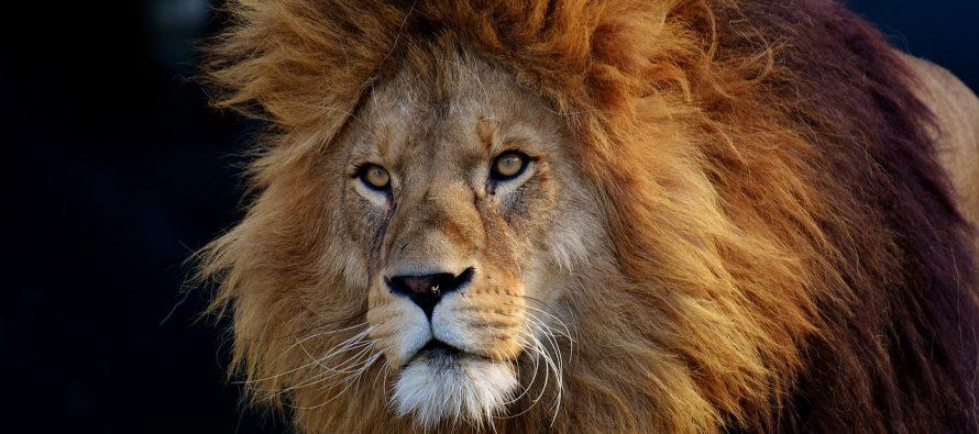 Porast broja ugroženih lavova