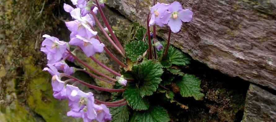 Natalijina ramonda – cvet kao simbol Dana primirja