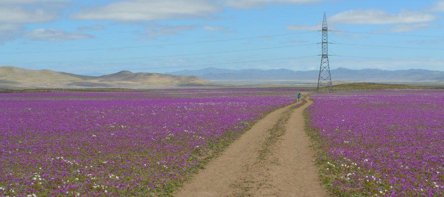 Pustinja koja cveta u Čileu