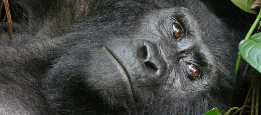 Gorile su i dalje ugrožena vrsta?