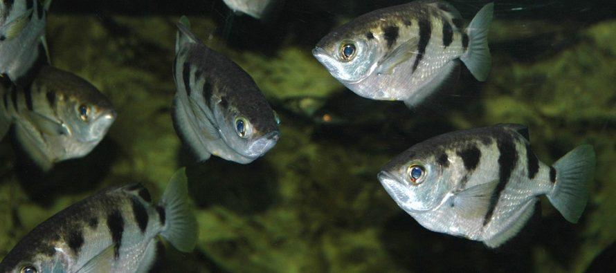 Mogu li ribe da prepoznaju ljudski lik?