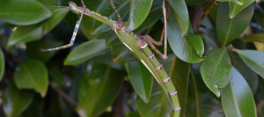 Koji to insekti putuju svetom oponašajući grančice?