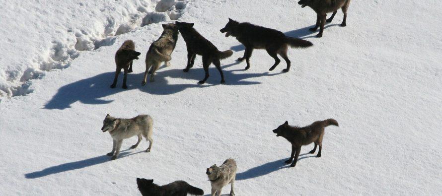 Šire li vukovi iz Černobilja mutirane gene?