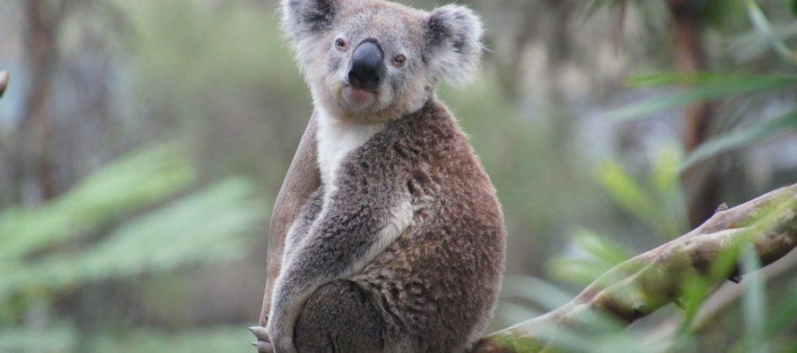 """Koale """"funkcionalno izumiru""""?"""