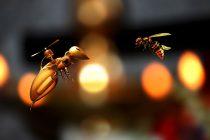 Da li su robo-pčele sledeći oprašivači useva?