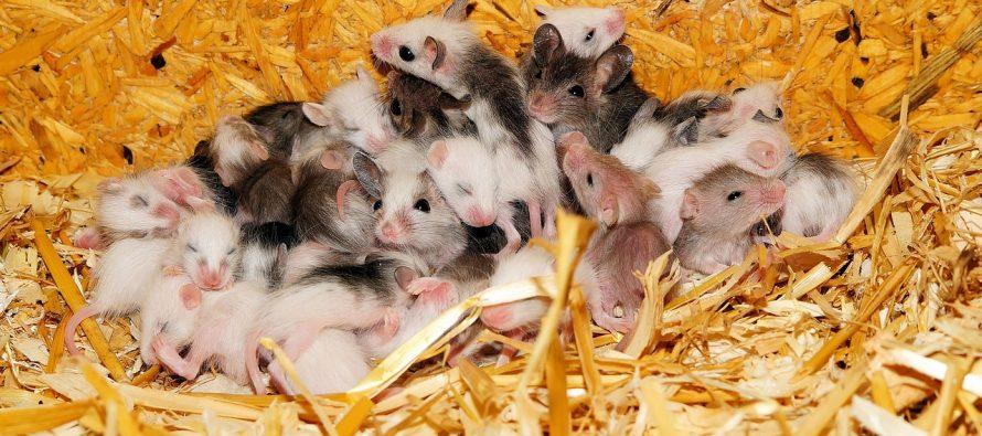 Naučnici stvorili miševe sa dve majke?