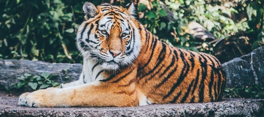 Dozvoljena prodaja tigrove kosti i roga nosoroga u medicinske svrhe?