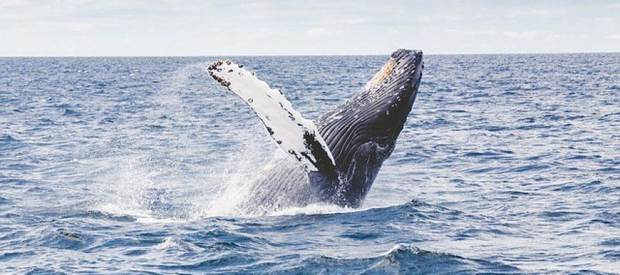 Ovako izgleda albino kit