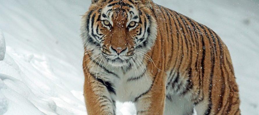Koliko tigrova danas postoji na planeti?