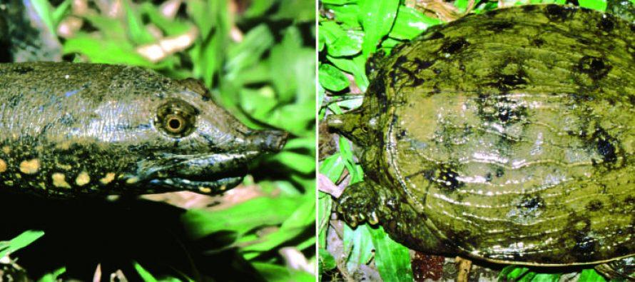 Otkrivena nova vrsta kornjača i već je kritično ugrožena!