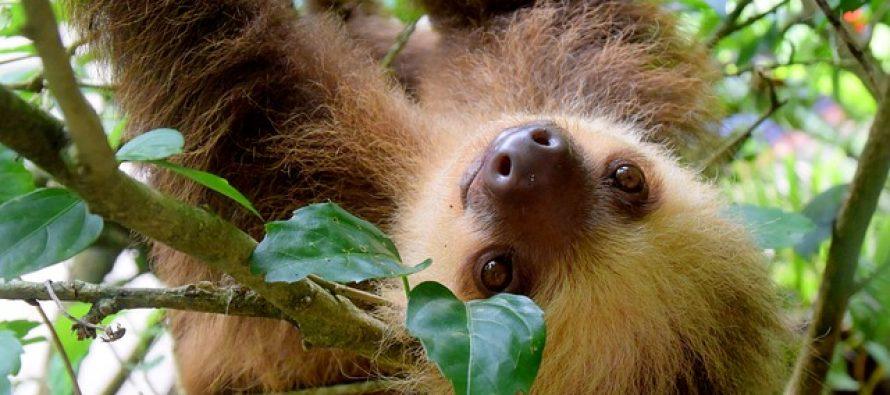 Ko je odgovoran za izumiranje džinovskih lenjivaca?