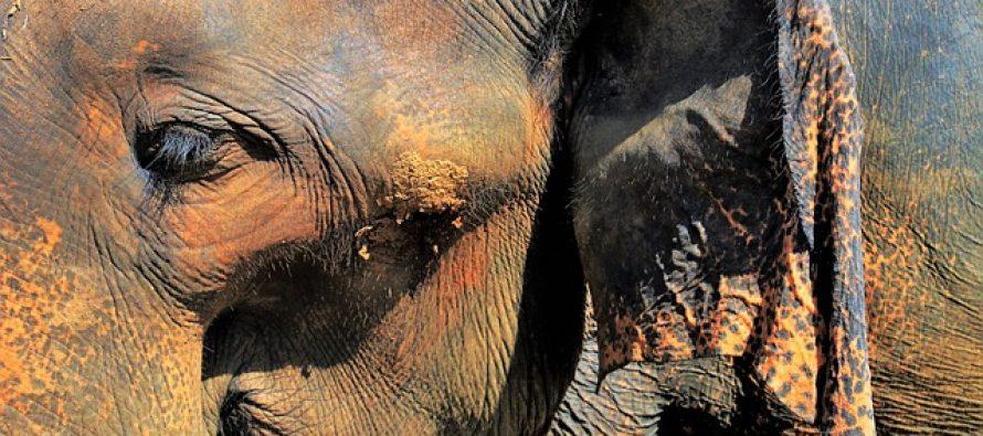 """Uginula je """"najtužnija"""" slonica na svetu"""