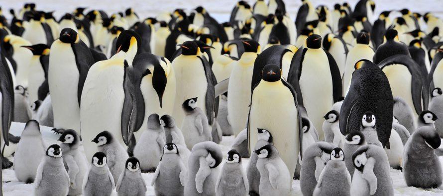 Ova vrsta pingvina bi mogla nestati do kraja veka
