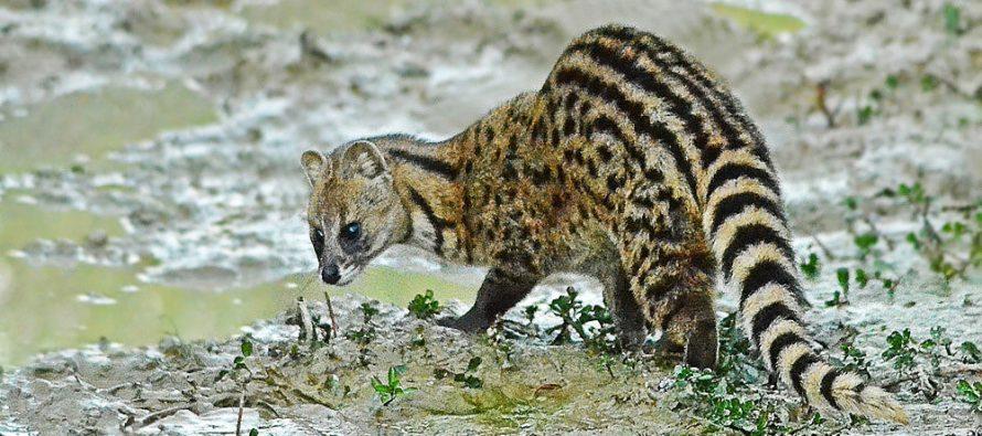 U Indiji se pojavila životinja koja nije viđena 30 godina!