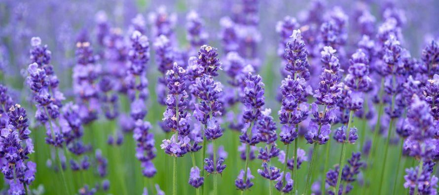 Otkrijte koji mirisi nas čine pozitivnijim