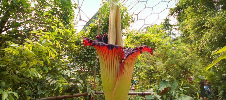Najveći cvet na svetu