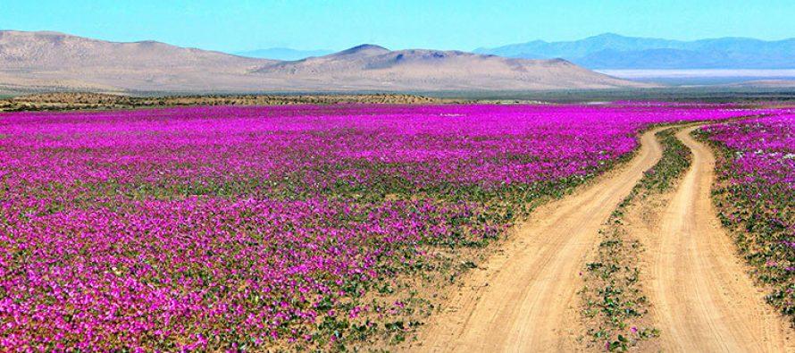 Da li ste čuli za cvetajuću pustinju?