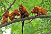 Kako je pandemija kovida ugrozila retku vrstu majmuna?