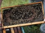 Naučnici obučili pčele da osete Kovid19