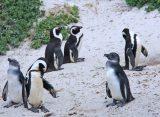 Grad pingvina u Južnoj Africi